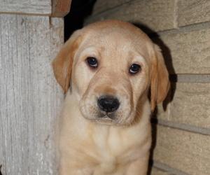 Labrador Retriever Puppy for sale in SOUTH WAYNE, WI, USA