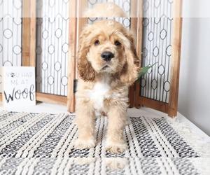 Cocker Spaniel Puppy for sale in NAPLES, FL, USA