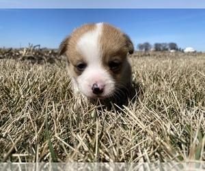 Pembroke Welsh Corgi Puppy for sale in ARTHUR, IL, USA