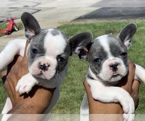 French Bulldog Puppy for sale in PICKERINGTON, OH, USA
