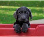 Small Photo #5 Labrador Retriever Puppy For Sale in FREDERICKSBG, OH, USA