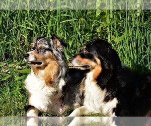 Mother of the Australian Shepherd puppies born on 05/29/2019