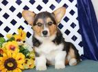 Pembroke Welsh Corgi Puppy For Sale in NEW HOLLAND, PA