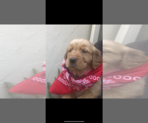 Golden Retriever Puppy for sale in SACRAMENTO, CA, USA