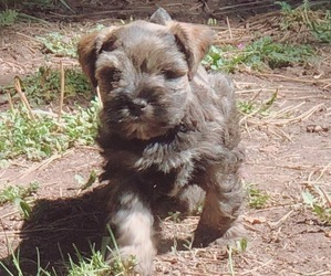 Schnauzer (Miniature) Puppy for Sale in NUTRIOSO, Arizona USA
