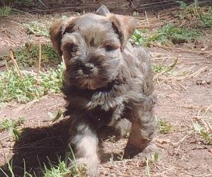 Schnauzer (Miniature) Dog for Adoption in NUTRIOSO, Arizona USA