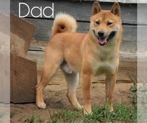 Father of the Shiba Inu puppies born on 09/07/2020