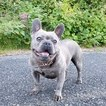 French Bulldog Puppy For Sale in MARYSVILLE, Washington,
