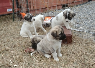 Anatolian Shepherd Puppy For Sale in GRAYSVILLE, TN, USA