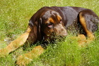 Bloodhound Puppy For Sale in SOLANA BEACH, CA, USA