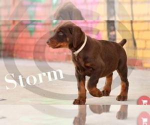 Doberman Pinscher Puppy for Sale in PEABODY, Kansas USA
