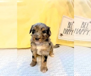 F2 Aussiedoodle Puppy for sale in DICKSON, TN, USA
