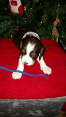English Springer Spaniel Puppy for sale in STATESVILLE, NC, USA