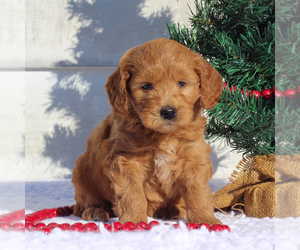 Goldendoodle (Miniature) Puppy for sale in CHRISTIANA, PA, USA