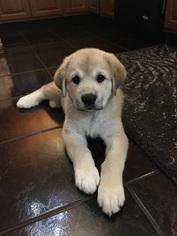 Pyrenean Mastiff Puppy For Sale in MOSINEE, WI, USA
