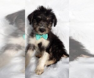 Schnoodle (Standard) Puppy for sale in FAIRLAND, IN, USA