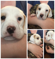 Ba-Shar Puppy For Sale in PARKVILLE, MD, USA