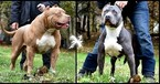 American Pit Bull Terrier Puppy For Sale in SOUTH BOARDMAN, MI,