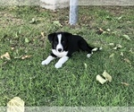 Puppy 2 Border Collie