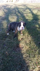 Boxer Puppy For Sale in HILLSVILLE, VA