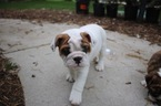 Bulldog Puppy For Sale in BROOKFIELD, WI