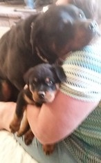 Rottweiler Puppy For Sale in WRIGHTWOOD, CA, USA