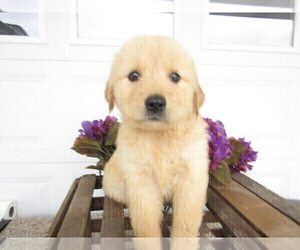 Golden Retriever Puppy for sale in KALAMAZOO, MI, USA