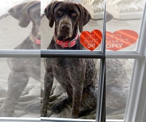German Shorthaired Pointer Dog for Adoption in MORENO VALLEY, California USA