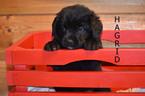 Puppy 5 Golden Mountain Dog