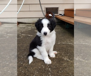 Border Collie Puppy for Sale in BOTHELL, Washington USA