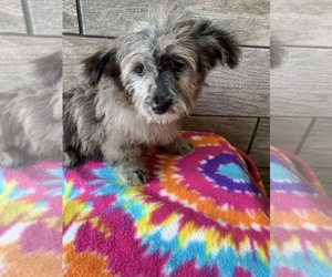 Aussiedoodle-Poodle (Toy) Mix Dog for Adoption in RICHMOND, Illinois USA