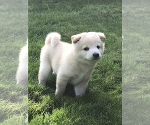 Shiba Inu Puppy for Sale in SNOHOMISH, Washington USA