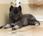Puppy 8 Pomsky