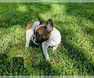 French Bulldog Dog for Adoption in TAMPA, Florida USA