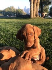 Vizsla Puppy For Sale in SPRINGVILLE, UT, USA