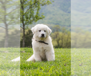 Great Pyrenees Puppy for sale in TOMS BROOK, VA, USA
