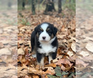 Miniature Australian Shepherd Puppy for sale in LAMPE, MO, USA