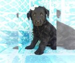 Small Photo #2 Labradoodle Puppy For Sale in EDEN, PA, USA