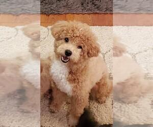 Poodle (Toy) Dog for Adoption in OLATHE, Kansas USA
