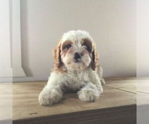 Cavapoo Puppy for sale in NARVON, PA, USA