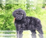 Small #24 Goldendoodle