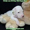 Small Photo #54 Dogo Argentino Puppy For Sale in PINEVILLE, MO, USA