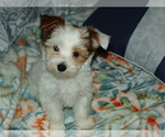 Puppy 3 Morkie