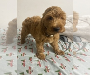Goldendoodle (Miniature) Puppy for Sale in STATEN ISLAND, New York USA
