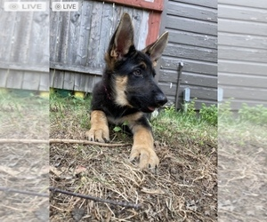 German Shepherd Dog Puppy for sale in BROOKLYN HEIGHTS, OH, USA