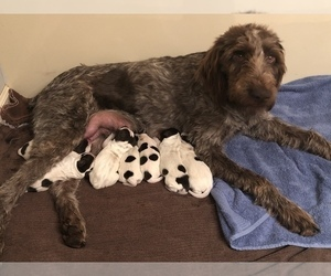 German Wirehaired Pointer Dog for Adoption in MEBANE, North Carolina USA