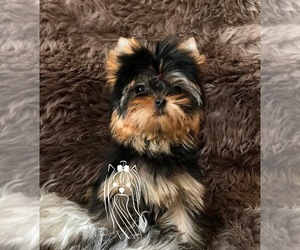 Yorkshire Terrier Puppy for Sale in ROANOKE, Virginia USA