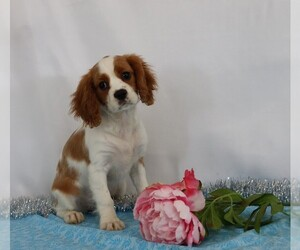 Cavalier King Charles Spaniel Puppy for sale in FREDERICKSBG, OH, USA