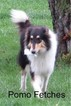Collie Puppy For Sale in KINROSS, IA, USA