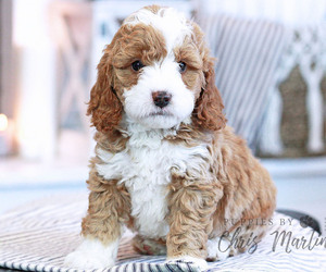Miniature Bernedoodle Puppy for Sale in EPHRATA, Pennsylvania USA